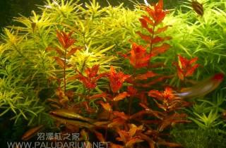 二氧化碳濃度對水草變紅的影響