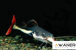 [鯰魚科]紅尾鴨嘴