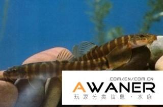[鰍魚科]橫紋條鰍