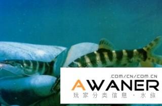 [鰍魚科]美麗沙鰍