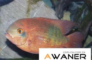 [慈鯛科]獅王鸚鵡魚
