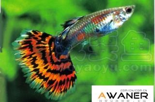 [胎生鱂魚科]紅馬賽克孔雀魚