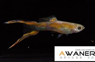[胎生鱂魚科]維也納綠寶石雙劍 / 劍尾孔雀魚