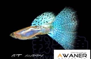 [胎生鱂魚科]藍禮服白子 (禮服孔雀魚)
