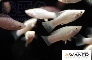 [胎生鱂魚科]瑪麗魚
