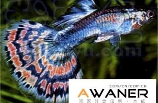 [胎生鳉鱼科]孔雀鱼