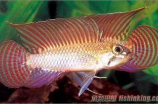 红珍珠短鲷