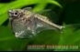 胸斧脂鲤科 (Gasteropelecidae) - 淡水观赏鱼大全