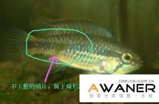 魚友怎樣分辨退化畸形短鯛