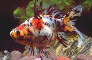 五花長尾草金魚