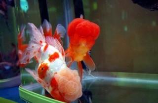 觀賞魚浮頭是怎麼回事?