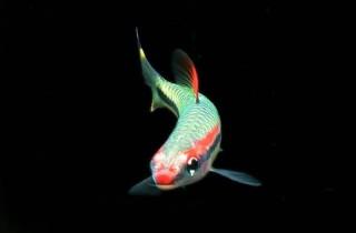 新魚入缸前如何給魚消毒?