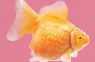 橙色鳳尾珍珠