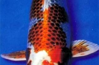 花紋皮光鯉