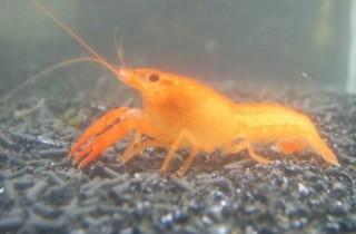 螯蝦飼養新手基礎指南