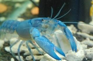 天空蓝魔虾饲养经验总结