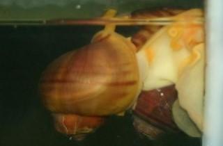 神秘螺繁殖的過程