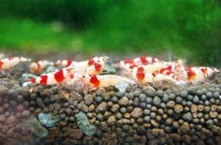 水晶蝦飼養硬件篇指南