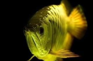 龍魚營養研究心得