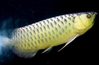 過背金龍魚顯色、發色的見解