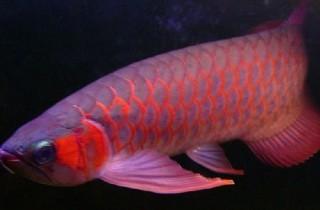 龍魚體色培養的正確理念