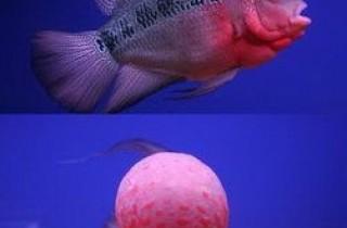 罗汉鱼的饲养容易造成的几大误区