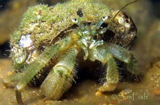 龍尾寄居蟹-不猶豫的殼戰