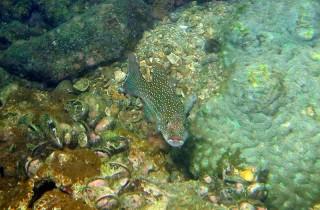 Plectropomus leopardus 東星斑