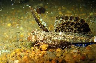 "Dactylopus kuiteri 基氏指脚""鱼衔"""
