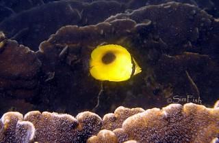 鏡斑蝴蝶魚(豆豉蝶) Chaetodon speculum